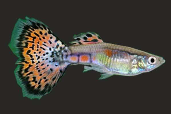 pez guppy multicolor 3