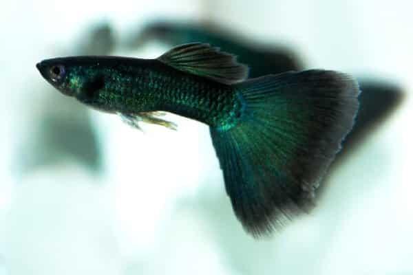 pez guppy negro 1