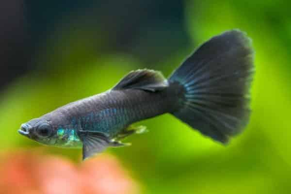 pez guppy negro 2