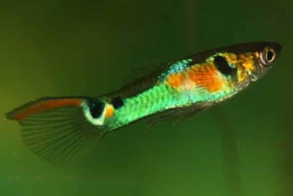 pez guppy neon 1