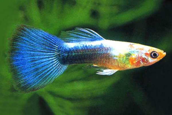 pez guppy neon 2