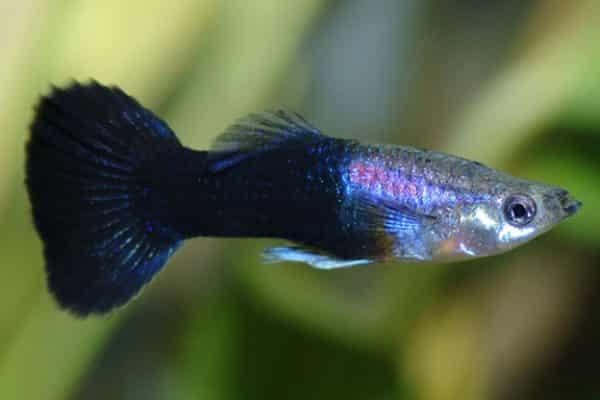 pez guppy neon tuxedo 3