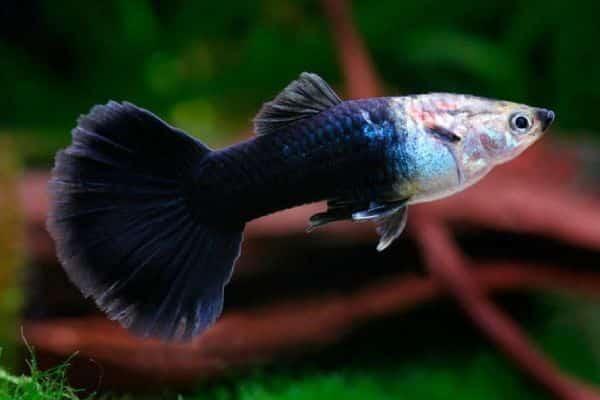 pez guppy neon tuxedo