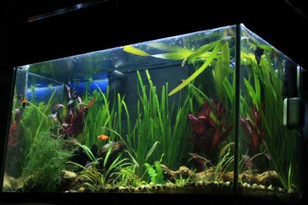 pez guppy pecera 2