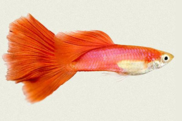 pez guppy red fire 1
