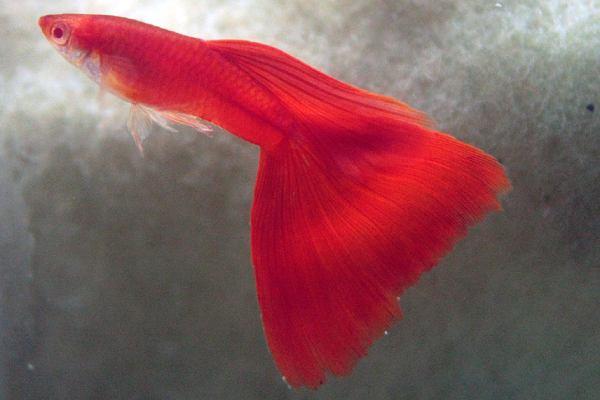 pez guppy rojo 1