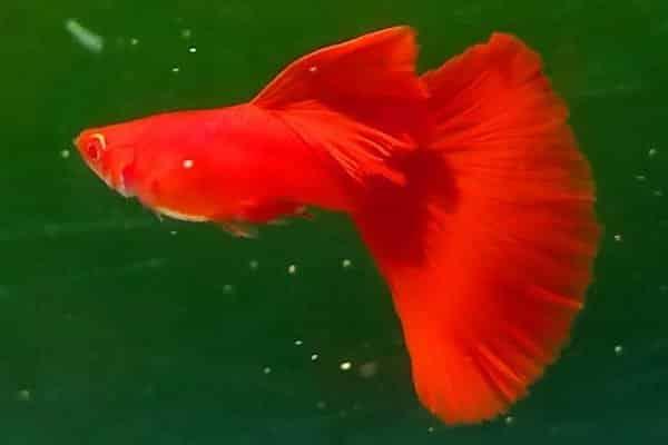 pez guppy rojo 2