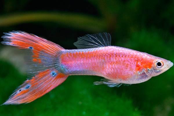 pez guppy rosa 1