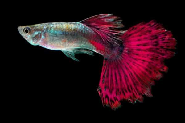 pez guppy rosa 2