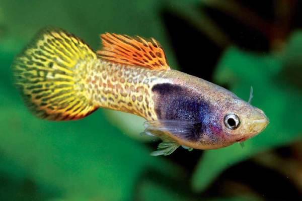 pez guppy spade tail 1