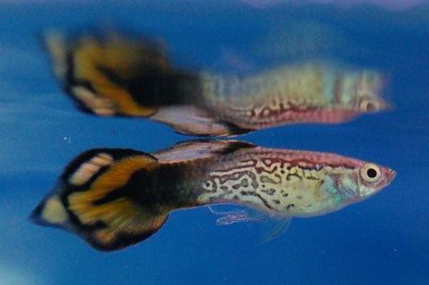 pez guppy spade tail 2