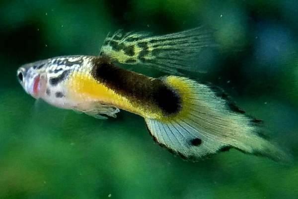 pez guppy spear tail 2