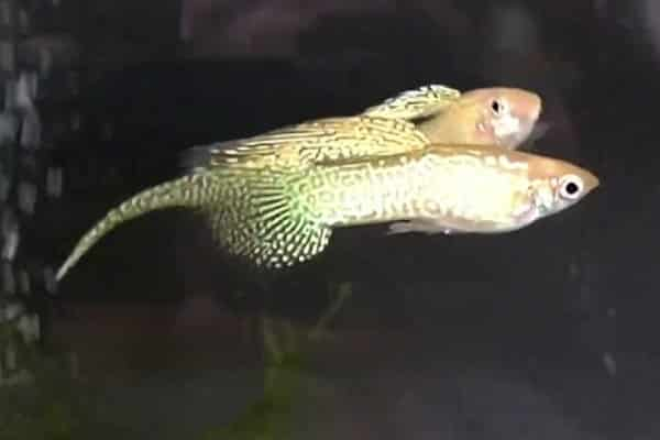 pez guppy top sword tail