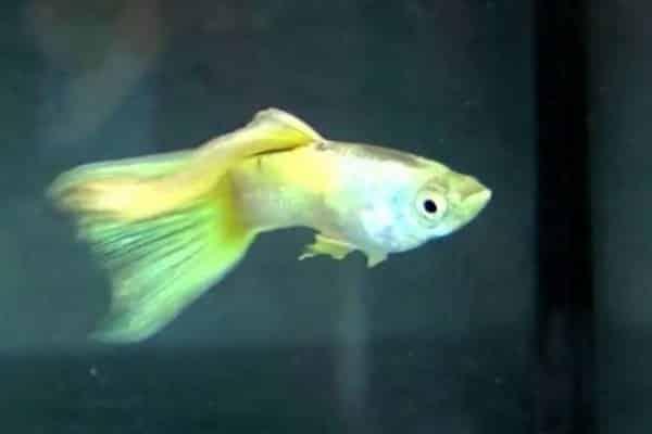 pez guppy veiltail 2