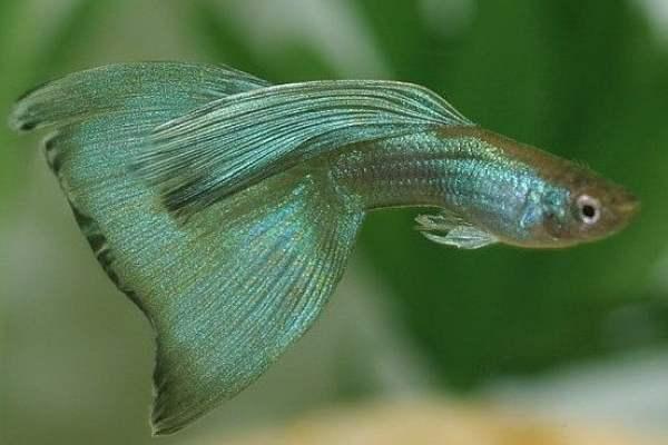 pez guppy verde 2