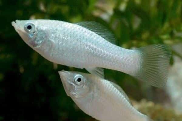 pez molly 1
