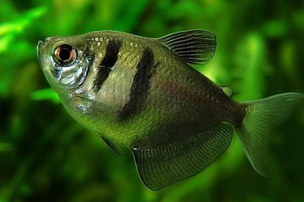 pez monjita 1