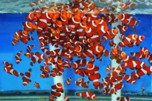 Crías de pez Payaso