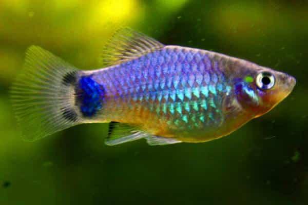 pez platy 2