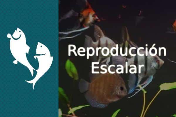 reproducción del pez escalar