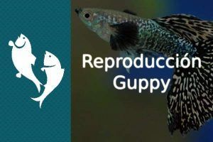 reproduccion guppy