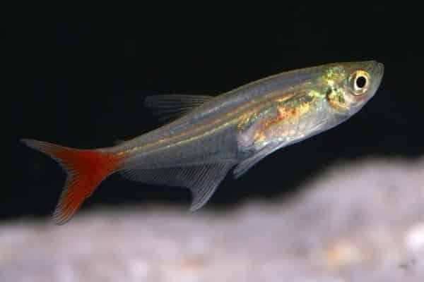 tetra bloodfin