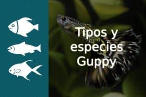 tipos guppy
