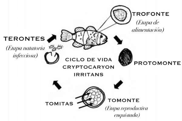 ciclo Ichthyophthirius