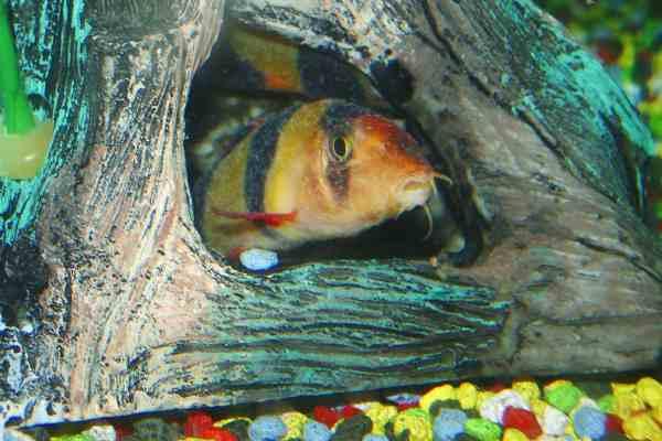 ich en peces Botia