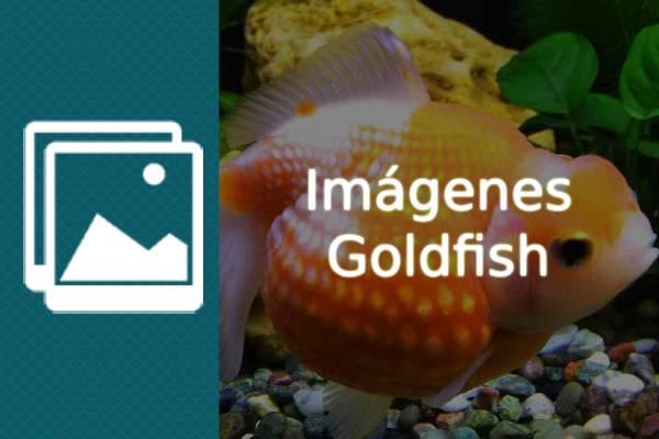 Imágenes Goldfish