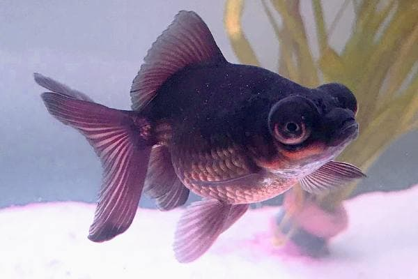 Goldfish Black Moor