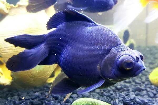 Goldfish Black Moor