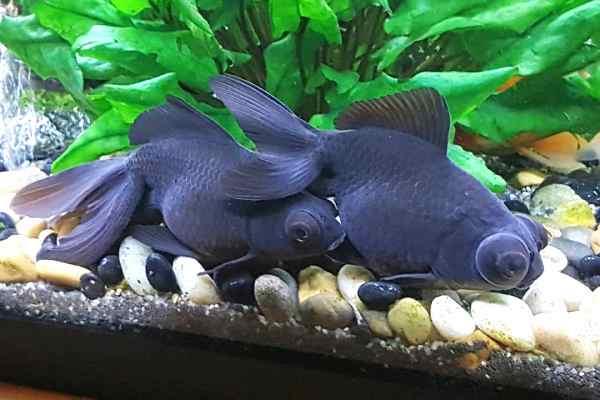 Goldfish Black Moor reproducción