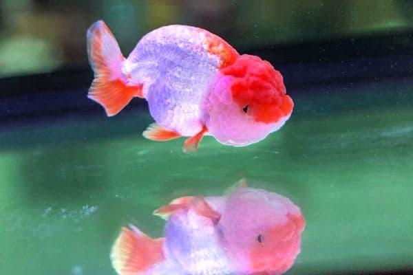 Goldfish Cabeza de León