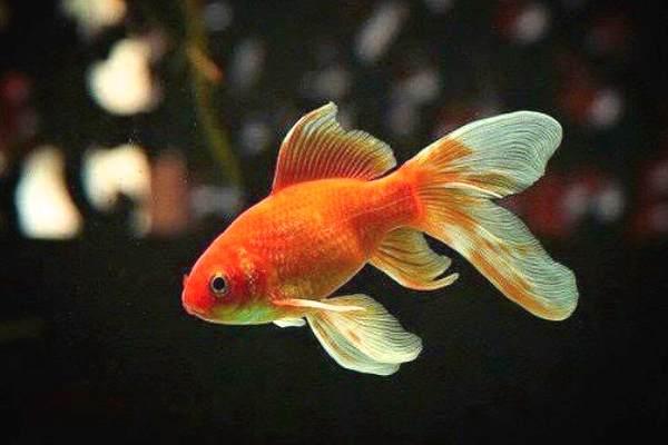 Goldfish Cola de Abanico