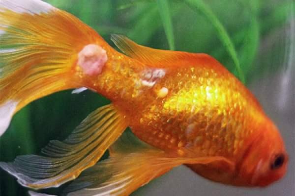 Goldfish enfermo
