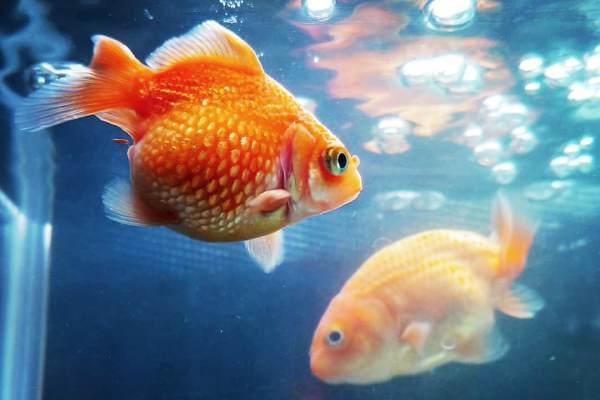 Goldfish Escama de Perla