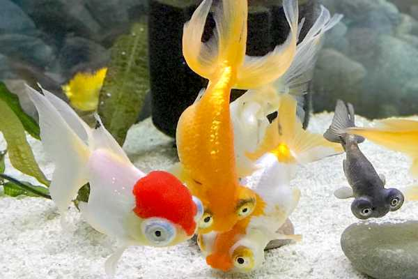 Goldfish Ojos Celestiales