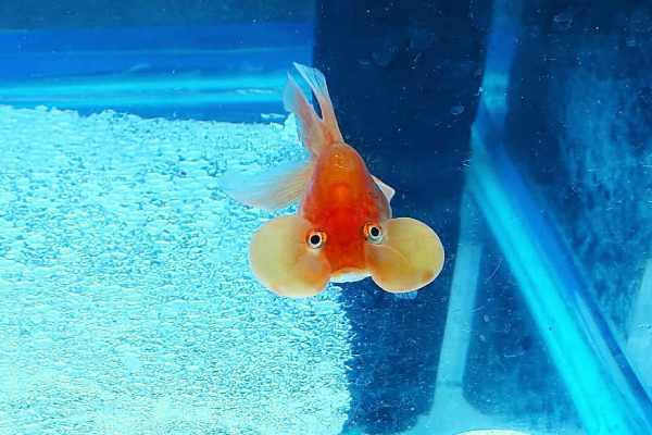 Goldfish Ojos de Burbuja