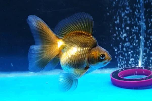 Goldfish Oranda