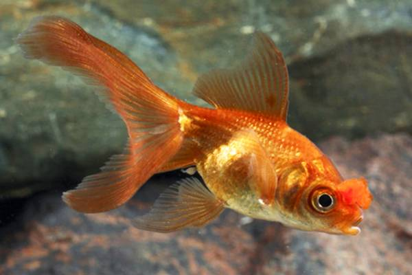 Goldfish Pompom