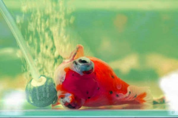 Goldfish reanimación