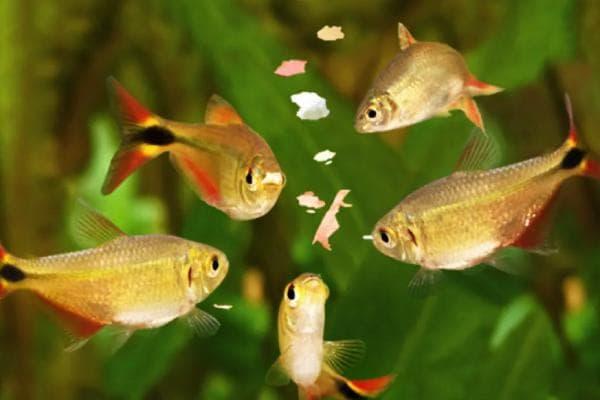 peces comida