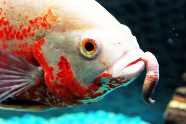 pez comiendo gusano
