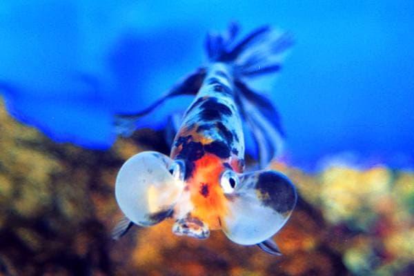 goldfish ojos burbuja calico