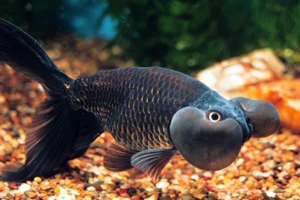 goldfish ojos burbuja negro