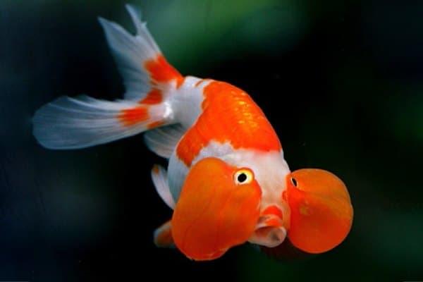 goldfish ojos burbuja rojo blanco
