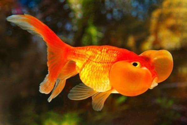 goldfish ojos burbuja rojo