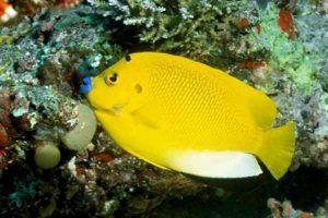 angel de tres puntos 11 adulto Apolemichthys trimaculatus