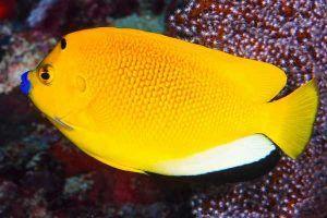 angel de tres puntos 14 adulto Apolemichthys trimaculatus